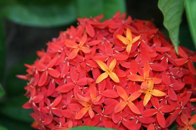Saint Barth - Flora Flowers