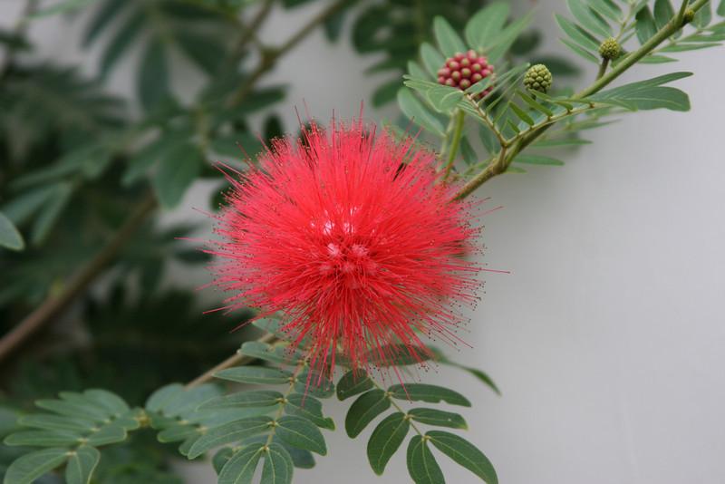 Saint Barth - Flora<br /> Flowers