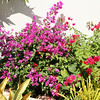 Saint Barth - Flora<br /> Flowers