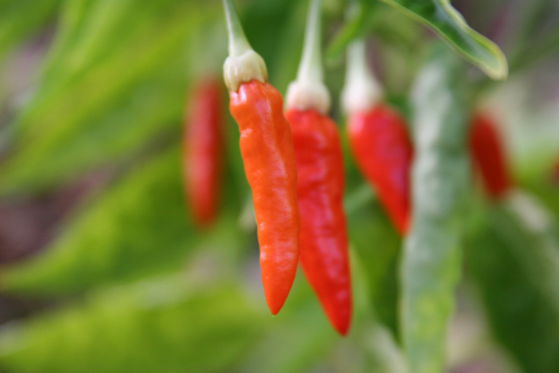 Saint Barth - Flora<br /> Peppers
