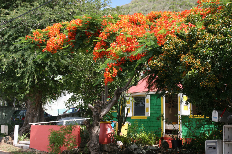 Saint Barth - Flora<br /> Corossol, marvelous Flambloyant trees with its flowers