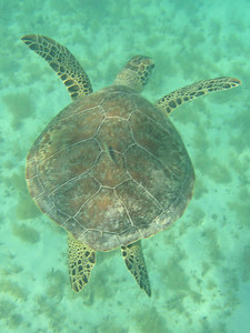 Saint Barth - UnderwaterSea turtle in Saint Jean Bay
