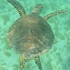 Saint Barth - Underwater<br /> Sea turtle in Saint Jean Bay