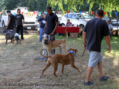 "CSAU ""Passing of the Dogs"" to evaluate tolerance of other dogs in the area.  A multitude of temperment evaluation tests take place at the  SCABR French Ring trial in Long Beach, CA on July 13, 2012  © Erin Suggett Photography 2012 - All Rights Reserved"