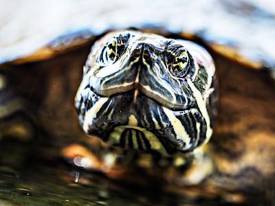 Turtle....the symbol of peace.