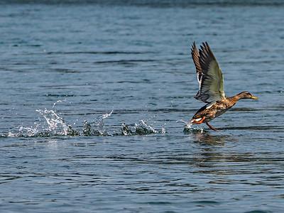 Duck Taking off at Sundial Bridge, Turtle Island in Redding CA