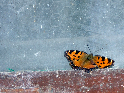 Butterfly in the winery window at Castello di Verrazanno in Greve, Italy
