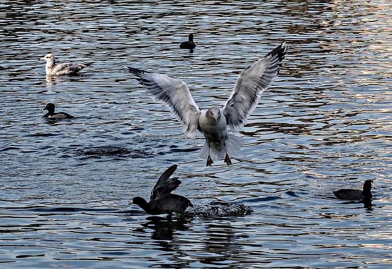 Seagull at MacArthur Park