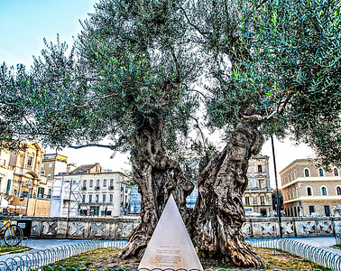 Piazza Sant'Oronzo....a VERY old olive tree