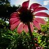 Echinacea Fairies 2