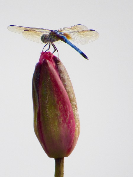 Blue Dragonfly on Pink Lotus