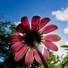 Echinacea Fairy