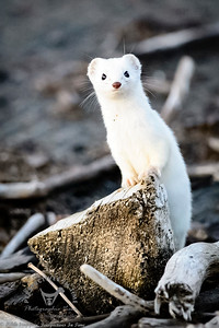 Homer Spit Ermine ready for spring