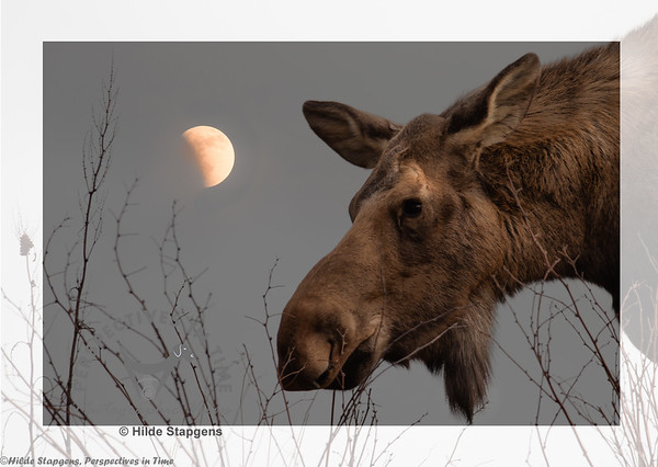 Moose with moon