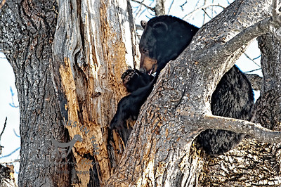 Black Bear grooming after winter sleep