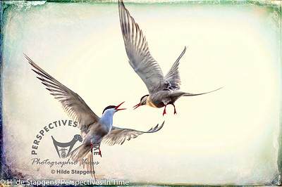 Arctic Terns - mid-air chat - with digital overlay