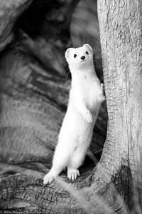 Homer Spit Ermine leaning against tree  - BW