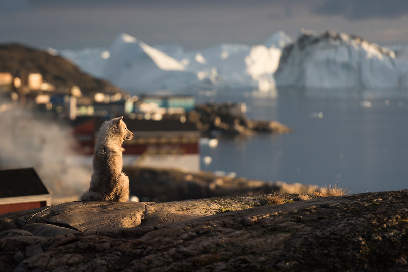 A Greenland Dog surveys Disko Bay bathed in warm sunset light.