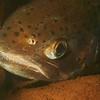 Steelhead Trout (Oncorhynchus mykiss)