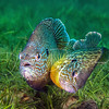 Mating Bluegills