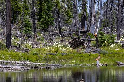 Bear Grass near Big Lake