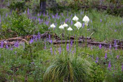 Bear Grass and Lupine