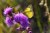 Sulfur butterfly feeding on a purple blazing star.
