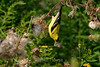 Gold finch feeding on thistle seeds.  This was taken at Meadowlands park near Hwy 65 and Mississippi St.