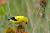 Gold finch feeding on purple cone flower seeds.  This was taken at Meadowlands park near Hwy 65 and Mississippi St.