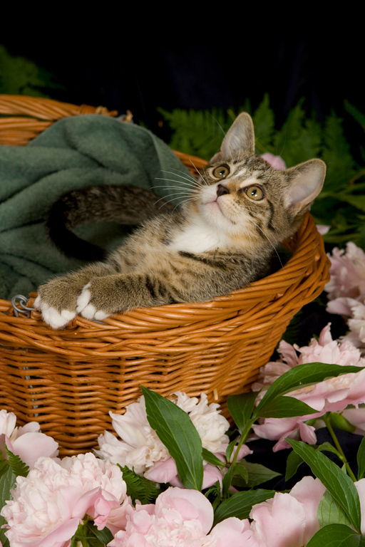 Gatsby chillin' in his basket with the Peonies