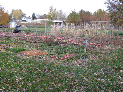 See - they grow apples in their vegetable garden! Note the retired corn stalks.
