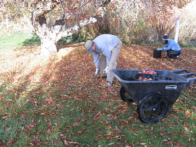 That's what those buckets are for - picking up all the downed apples.