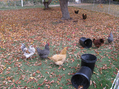 They have eight hens and one rooster (on the far left here). Of the original twelve baby chicks, over time three have been lost to a fox (or to Joel's dinner table).