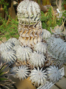 A visit to the cactus house at the Huntington Library and Gardens.