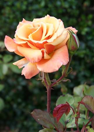 Rose July 06