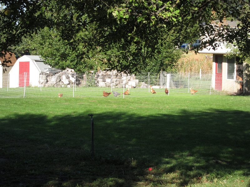 Plenty of hens but no current egg production - how does a fresh chicken dinner sound!