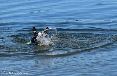 Boston Terriers at beach-2-4