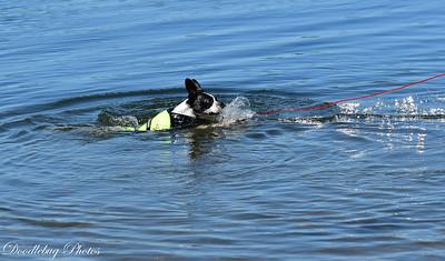 Boston Terriers at beach-2-3