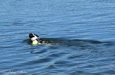 Boston Terriers at beach-2-11