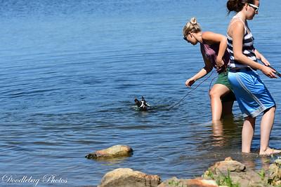 Boston Terriers at beach-2-2