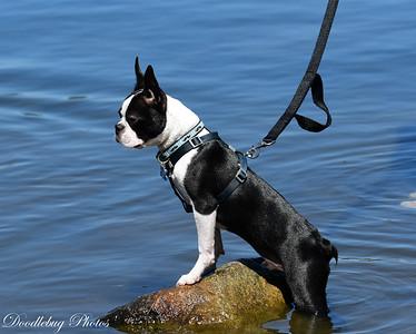 Boston Terriers at beach-2-12