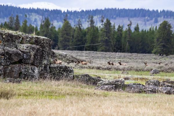 Elk Herd at Harriman Wildlife Refuge