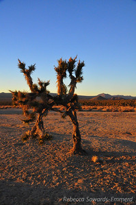 The sole Joshua Tree in the 'Outer Corral'