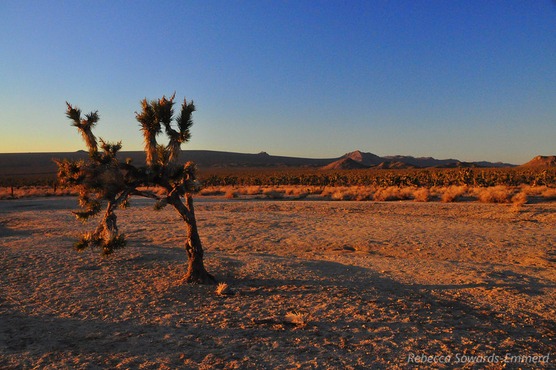 The sole Joshua Tree in the 'Outer Corral' Cima dome in the distance