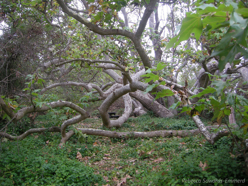 Awesome twisted sycamore along the nature trail