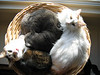 A basket full of cats - Nellie, Sparky and Corky - our owners. March 2003.