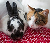 107 of 365 (The Pets)<br /> <br /> Kinder the (slightly out of focus) rabbit and Callie the jelious cat. Used the Canon 50mm 1.8 II lens at F4.0, 1/25th of a second hand held, iso 160.