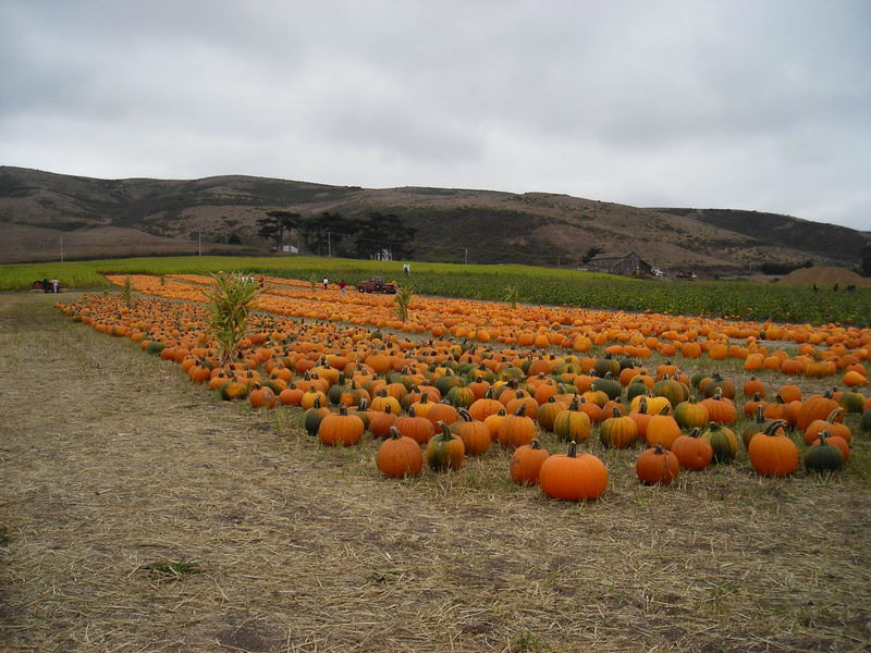They also have lots of ripened and pre-picked pumpkins for the taking
