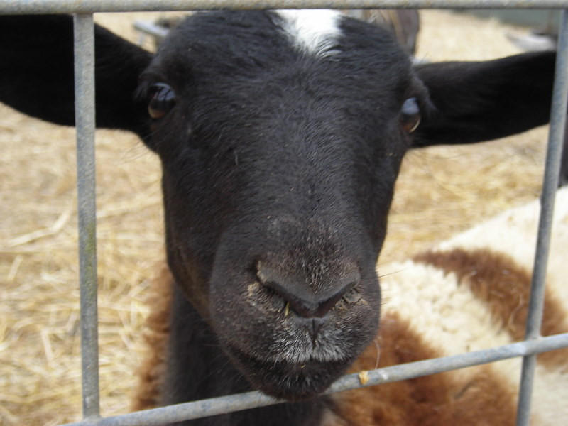They even have a petting zoo - this wooly creature was very friendly. Or he wanted to eat my camera, I'm not sure which.