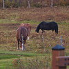 Horses grazing near the Mount Washington Hotel, New Hampshire - October 21st, 2017